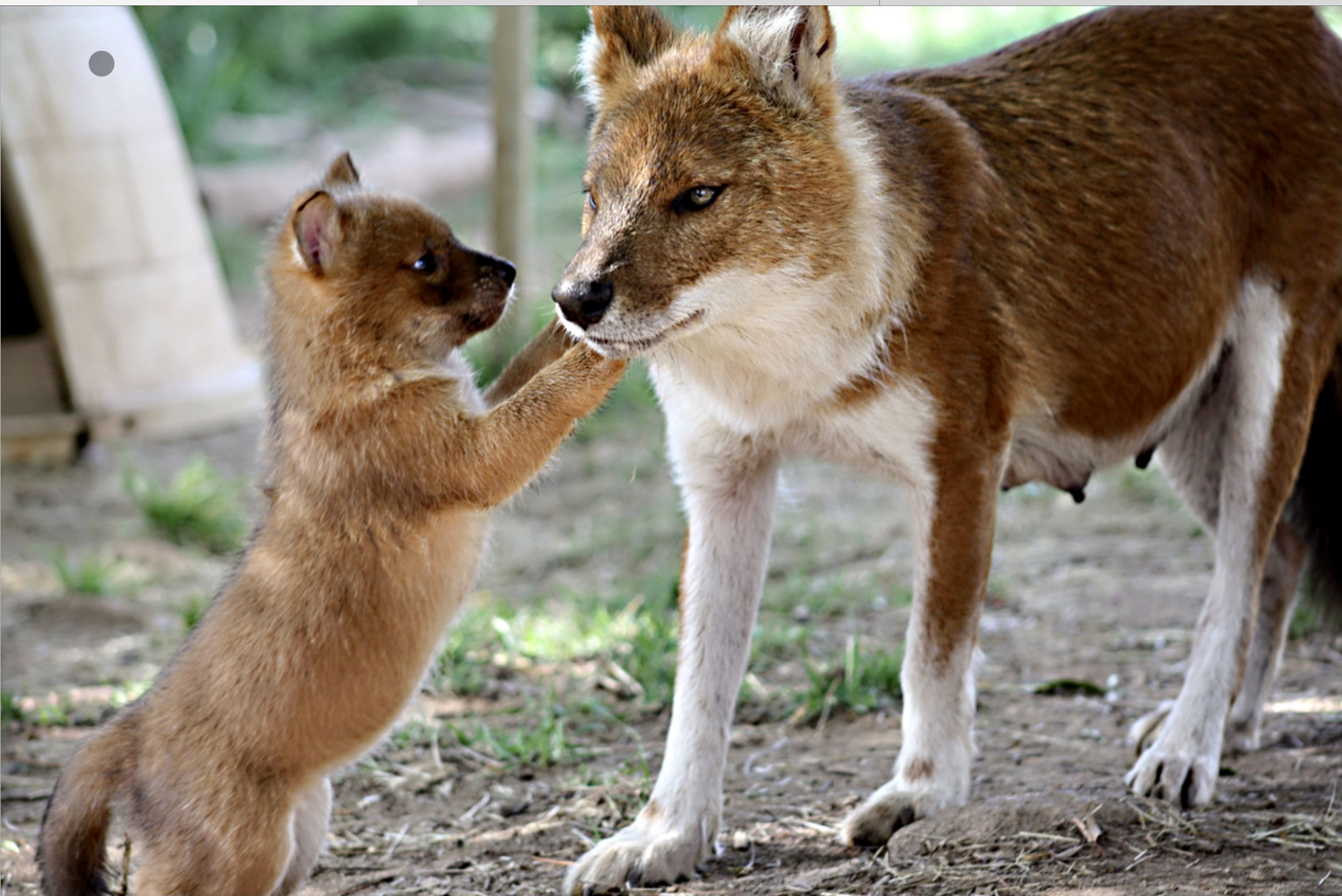Dhole Wild Dog China